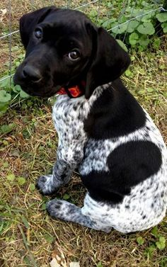 """Awesome """"pointer dog"""" info is readily available on our internet site. Read more and you wont be sorry you did. Gsp Puppies, Pointer Puppies, Cute Puppies, German Pointer Puppy, German Shorthaired Pointer Black, Short Haired Pointer, French Dogs, Cute Baby Dogs, German Dogs"""