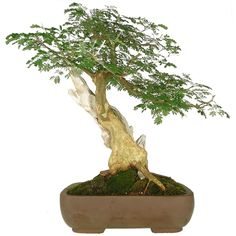 Bonsai Pithecolobium 28 anos - Ideal Bonsai
