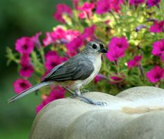 A beautiful Tufted Titmouse, surrounded by flowers. Photo by Cynthia Lockwood. birdsandblooms.com