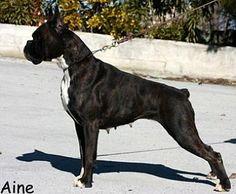 Boxer Dog Colors.  Brindle sealed...NOT black