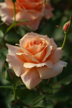 Hybrid Tea Rose: Rosa 'Apricot Candy' (France, 2006)