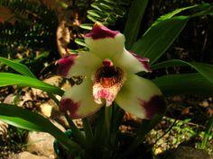 A Pescatorea klabochiorun é uma espécie de orquídea muito ornamental, nativa das regiões de altitude da Colômbia e do Equador. Bela orqu...