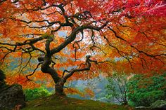 Beautiful Fall tree in the gardens of Portland, Oregon. #autumn