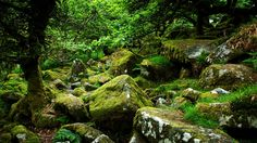 Between the mossy boulders of Wistman's Wood, Dartmoor-Two Bridges, England
