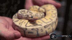 Snake yawning GIF