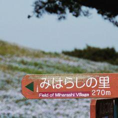 視界が晴れるまであと少し #みはらしの里 #みはらしの丘 #ネモフィラの丘 #ひたちなか海浜公園 #茨城県 #ネモフィラ #初夏  #miharashifield #hitachiseasidepark #nemophila #ibaraki #japan #flowers #flower #field #earlysummer