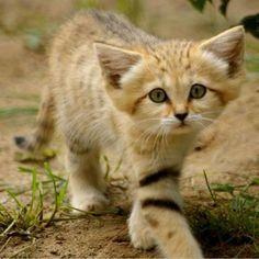 Arabian sand cat     aww            wriha agaehiag ha;iogh aie;ogn aehists soooo cuttee!!!!!!!!