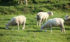 Southwest Desert Sheep Forage Blend