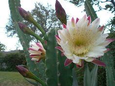 El cereus Peruvianus, Cactus de America Central y del Sur, ha demostrado en diversas pruebas que corrige las alteraciones  causadas por las radiaciones electromagneticas.También se lo conoce como el cáctus informático o el cáctus antiradiaciones.