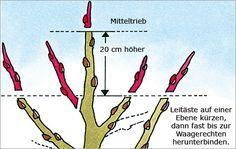 Obstbaumschnitt: Junge Bäume - Nutzgarten - DAS HAUS