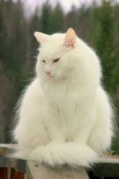 'Stuart Little' by AmyKippernes. Another one of our cats Turkish Angora Cat, Angora Cats, Pretty Cats, Beautiful Cats, C Is For Cat, Fancy Cats, Norwegian Forest Cat, Maine Coon Cats, White Cats