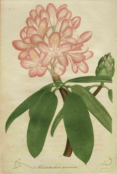 Early American Gardens: Early Garden Book - Jacob Bigelow. American Medical Botany. Boston, 1817.
