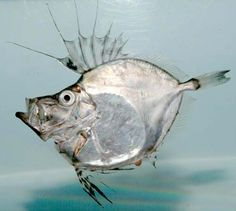 the silvery American John dory (Zenopsis conchifera) inhabits the deep waters of the western Atlantic and is delicious served with tarragon and lemon Underwater Creatures, Underwater Life, Reptiles, John Dory, Weird Fish, Deep Sea Creatures, Deep Sea Fishing, Beautiful Fish, Sea Monsters