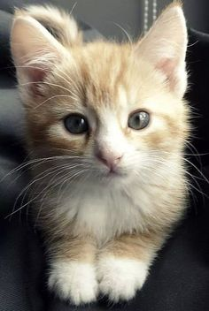 These Wuvely kittens will rock your world! Kittens in rocking chairs Cute Cats And Kittens, Kittens Cutest, I Love Cats, Ragdoll Kittens, Funny Kittens, Bengal Cats, White Kittens, Tabby Cats, Black Cats
