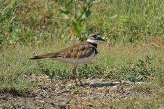 Killdeer ©Steve Frye. Wild Bird Company - Boulder, CO, Saturday Morning Bird Walk in Boulder County – July 16, 2016.
