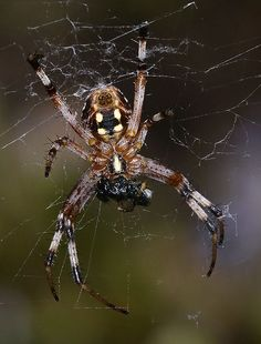 Spider photos | wapiti3: Western Spotted Orbweaver on Flickr. ...