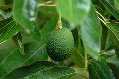 Gorgeous!  #avocado