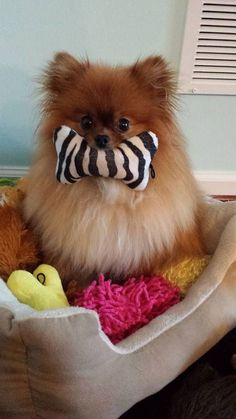 Pomeranians are so cute.