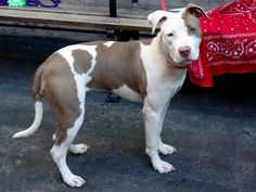 SAFE 9/17/13 Manhattan DIMOND A0978249 Female white/tan pit bull mix 10mos Those assessors at the shelter make her very nervous indeed. This little lass is such a tender baby that it's hard to imagine any reason that the shelter could dream up for killing her tomorrow but that's the plan and we've all seen them do it. Please share Dimond widely so that she gets a chance to see all that the fall season has to offer.