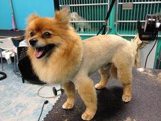 Pomeranian lion cut