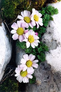 Rock Flowers, Flowers Nature, Small Flowers, Wild Flowers, Alpine Garden, Alpine Plants, Amazing Flowers, Beautiful Flowers, Alpine Flowers