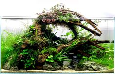Adding driftwood to your aquarium is a great way to get a natural look and imitate the habitat of some fish species. Aquarium suitable wood can be found in many shapes and forms and there is a… Source by gailsdriftwood Aquascaping, Aquarium Aquascape, Planted Aquarium, Aquarium Terrarium, Nature Aquarium, Aquarium Fish Tank, Fish Tanks, Aquarium Landscape, Aquarium Driftwood
