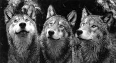 #wolfs #mystic animals #dark arts #animals in art