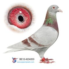 Pigeon Eyes, Pigeon Breeds, Homing Pigeons, Modern House Design, Black Diamond, Bird Flying, Racing, Birds, Pets