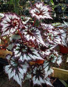 Begonia 'Chocolate Cream' Unusual Plants, Exotic Plants, Cool Plants, Exotic Flowers, Beautiful Flowers, Shade Garden Plants, Planting Succulents, Indoor Plants, House Plants