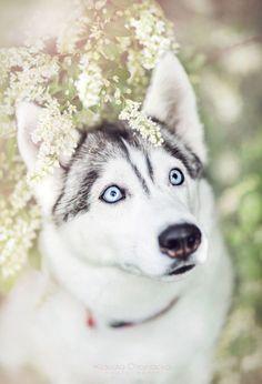 Siberian Husky                                                                                                                                                     More #siberianhusky