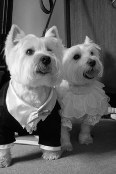Check out these 2 gorgeous Westies all dressed up for their mums wedding - i think they possibly stole the show!! Too adorable! Tuxedos and wedding gowns for dogs - www.dogsandco.com