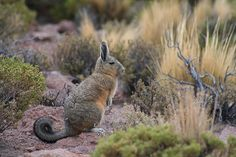 Viscacha (Lagidium viscacia Molina) | Flickr - Fotosharing!