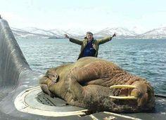 Walrus sleeping on a Russian submarine.