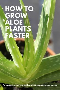 quick guide, find out not only how fast aloe plants grow, but how to make them grow faster.this quick guide, find out not only how fast aloe plants grow, but how to make them grow faster. Types Of Succulents Plants, Growing Succulents, Jade Plants, Types Of Aloe Plants, Weird Plants, Growing Plants, Cactus Plants, Succulent Gardening, Planting Succulents
