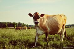 Cows Trivia: When cows eat a lot of grass (vegetable), they ingest a lot of carotenoids which their bodies convert into Vitamin A.