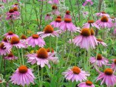 27-1-17: La equinacea o echinacea es una planta, oriunda de USA, cuyas flores, hojas y raíz se utilizan como medicamento. http://consejonutricion.com