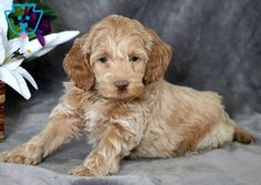 Cockapoo Puppies For Sale Little Puppies, Baby Puppies, Baby Dogs, Cute Puppies, Pet Dogs, Dogs And Puppies, Puppies Tips, Doggies, Cockapoo Puppies For Sale