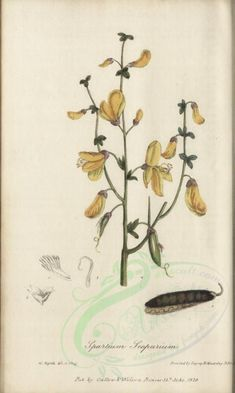 plants-02217 - spartium scoparium [1979x3297]