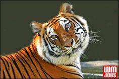 Tiger at Big Cat Habitat, a Florida sanctuary for rescued big cats. TIgers are just beautiful! Save The Tiger, Tiger Love, Tiger Tiger, Tiger Cubs, Bengal Tiger, Beautiful Cats, Animals Beautiful, Cute Animals, Wild Animals