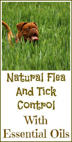 How to control fleas and ticks naturally with essential oils instead of potentially dangerous chemical flea formulas. by jayne Flea And Tick Spray, Flea Spray, Essential Oils For Fleas, Young Living Essential Oils, Killing Fleas, Oils For Dogs, Garden Guide, Organic Oil, Aromatherapy