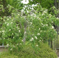 """Sorbus aucuparia Pendula Sorbus aucuparia,""""Pendula"""", riippapihlaja"""
