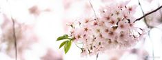 Spring – Spring Cherry Blossom  Facebook Timeline Cover on http://www.covermytimeline.com