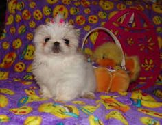 littlest pet shop pekingese puppy - Google Search Pekingese Puppies, Little Pets, Pet Shop, Google Search, Dogs, Animals, Pets, Pet Store, Animales