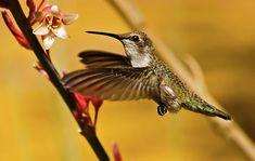 Hummingbird #bird #hummingbird #wildlife