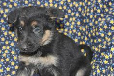 German Shepherd Puppies For Sale In Ronks Pennsylvania www.network34.com/dogsbreed/german-shepherd-puppies-for-sale-pa-md-ny-nj-dc/