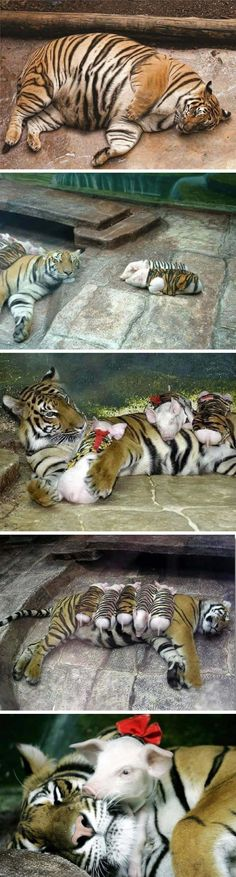 Zookeepers comfort depressed tiger mom with piglets in tiger-print cloth because of premature labour. Now she loves them all