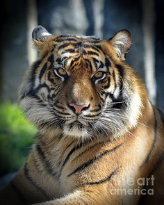 Jim Fitzpatrick - The Glare of a Tiger Pet Tiger, Bengal Tiger, Cute Wild Animals, Animals And Pets, Beautiful Cats, Animals Beautiful, Endangered Tigers, Cat Years, Tiger Love