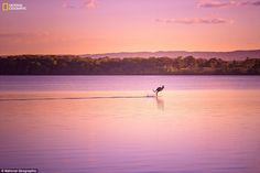 Dave Kan in Noosa, Queensland, Australia: 'I was finishing up a photo shoot when a wild kangaroo appeared out of nowhere and bounded onto the lake, as if walking on water. This, along with the picturesque sunset combined to create an absolute visual treat!'