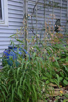 Northern Sea Oats (Chasmanthium latifolium) | Flickr - Photo Sharing!