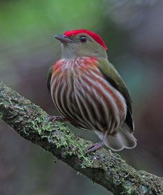 Lovely Striped Manakin